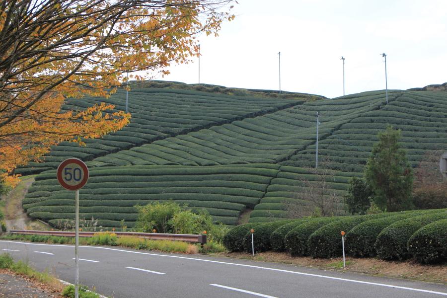 宇治の茶畑