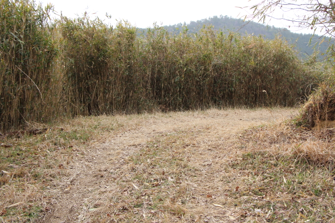 篠竹の群れ
