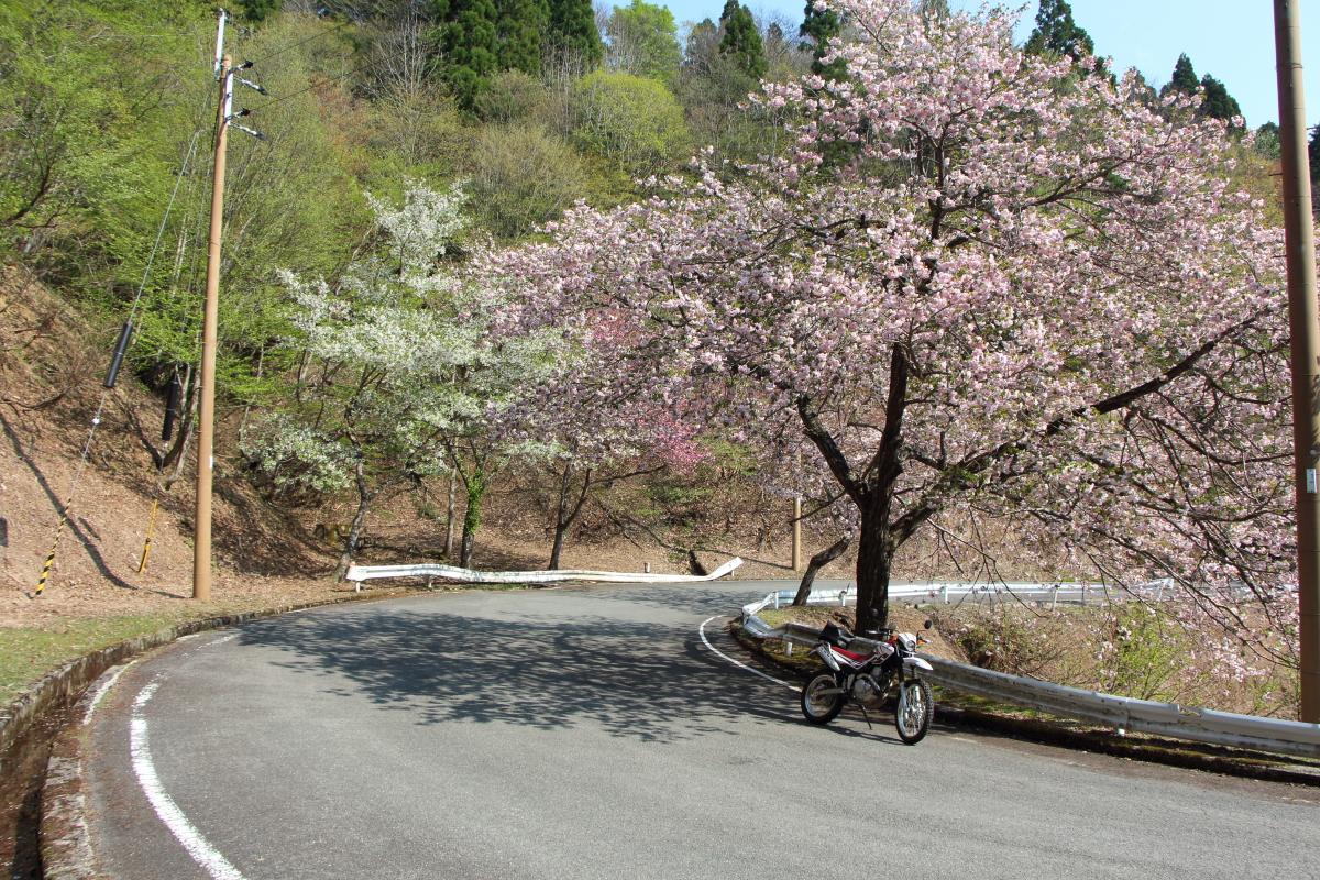 佐々里峠の春の桜