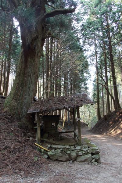 寄り添う杉の古木
