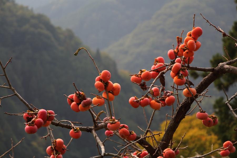 和歌山県かつらぎ町の平核無柿