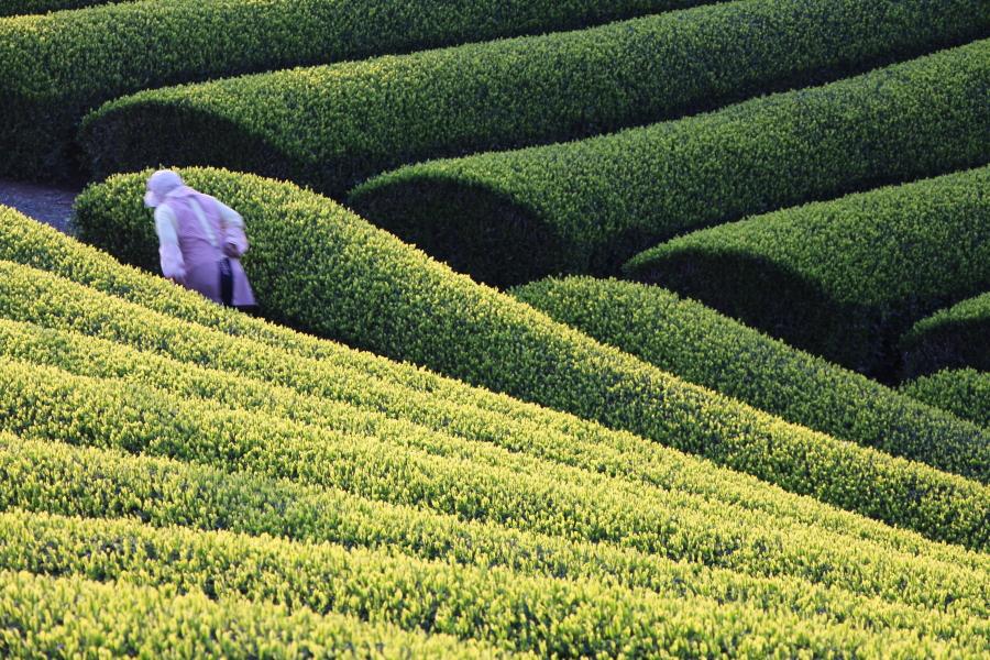 芸術品のような茶畑