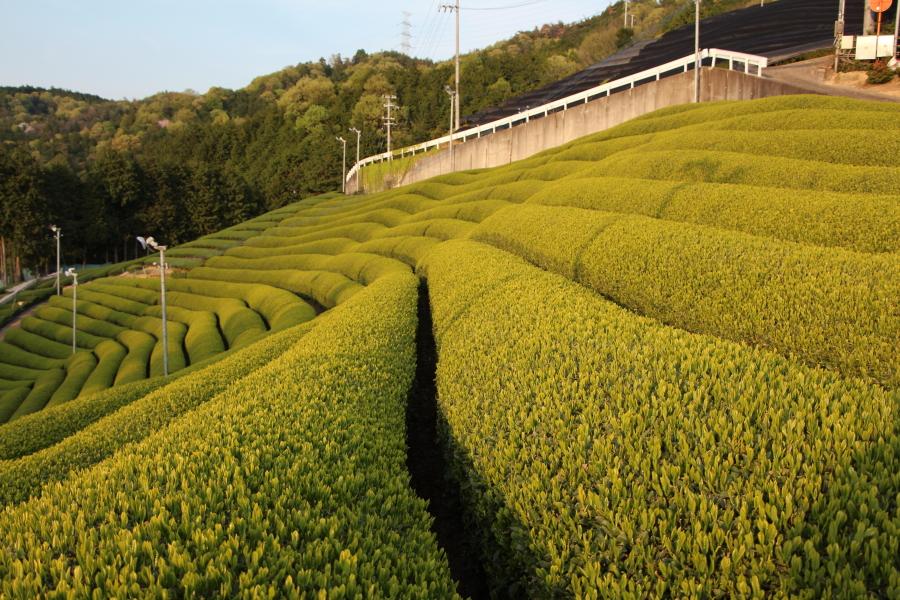 京都府相楽郡和束町の茶畑