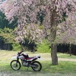 桜とセロー