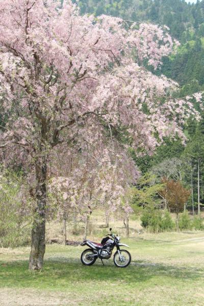 京都の枝垂桜
