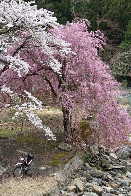 枝垂桜_7