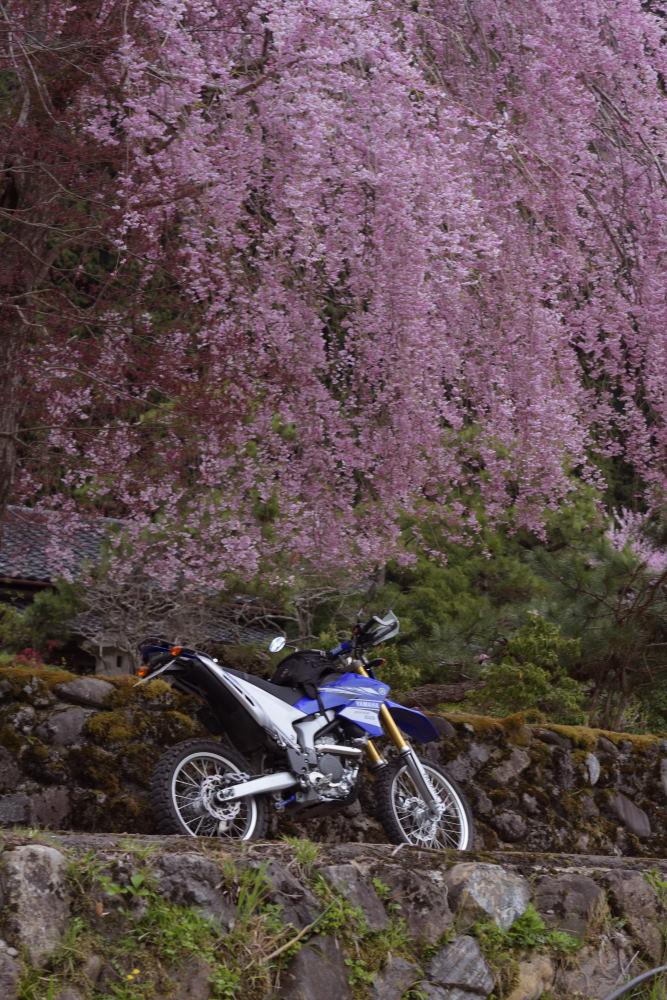 枝垂桜とツーリング