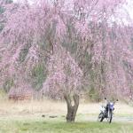 枝垂桜とWR250Rと国道477号